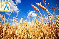 Бажаєте отримати дружні сходи пшениці???