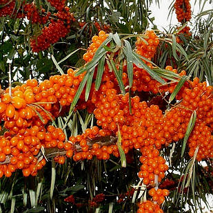 Саженцы Облепихи Подольская (женский) - средняя, крупноплодная, ароматная