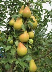 Груша Медовая колоновидная (поздно осенний,сочный,скороплодный), фото 2