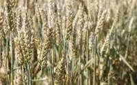 Озима пшениця Єсенія , безоста, супереліта