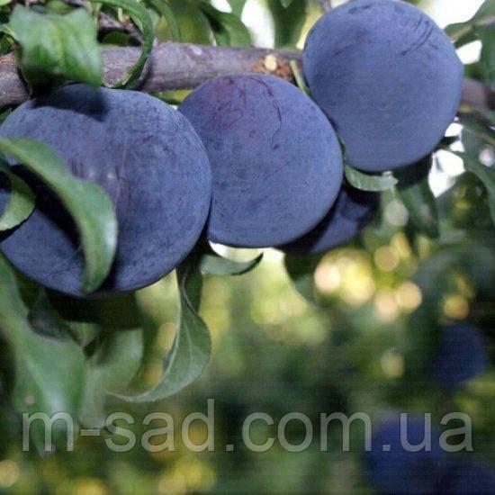 Слива Блек Амбер(поздний,крупноплодный,урожайный