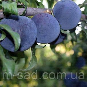 Слива Блек Амбер(поздний,крупноплодный,урожайный, фото 2