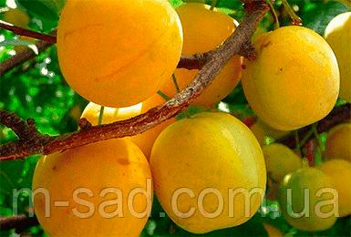 Слива Желтая Медовая(средне ранний,крупноплодный) 2х летний, фото 2