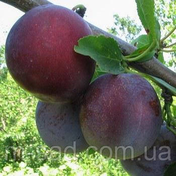 Слива Кишиневская (ранний,самоплодный,урожайный) 2х летний, фото 2