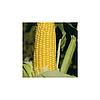 Семена кукурузы GH 2042 F1 100 000 сем. Сингента (Syngenta)