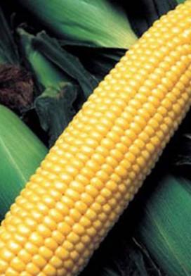 Семена кукурузы GH 6462 F1 100 000 сем. Сингента (Syngenta) - Интернет магазин капельного орошения «КАПЛЯ» в Одесской области