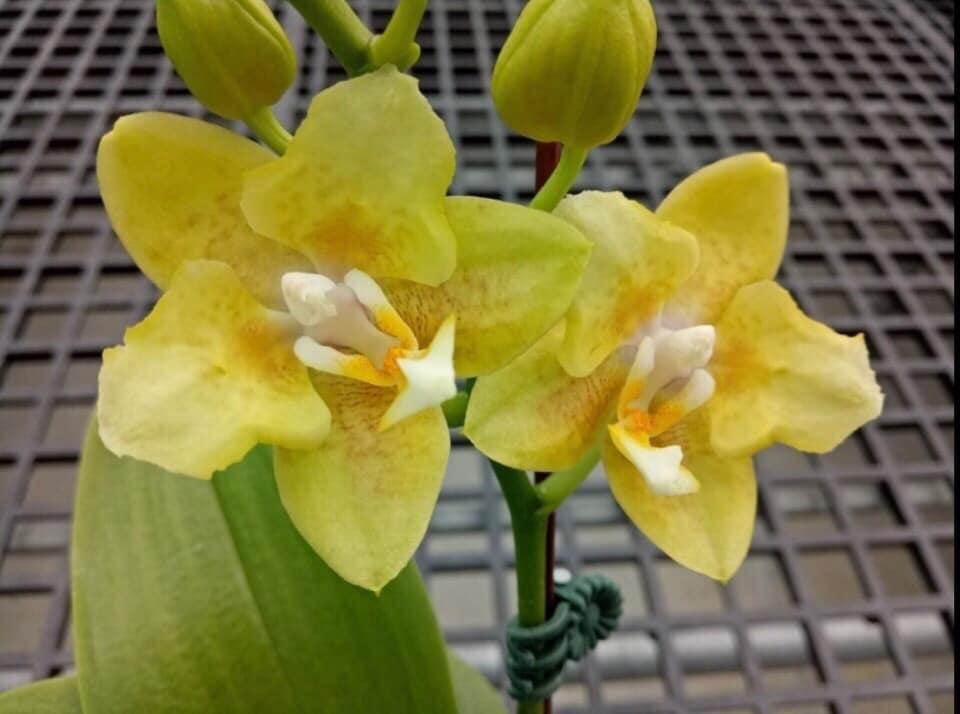 """Подростки орхидеи. Сорт Golden pixie (peloric), горшок 1.7"""" без цветов"""