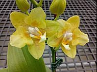 """Подростки орхидеи. Сорт Golden pixie (peloric), горшок 1.7"""" без цветов, фото 1"""
