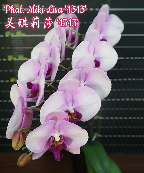 Oрхидея, сорт Miki Lisa - размер 2.5, без цветов