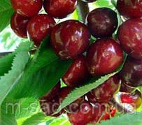 Черешня Мелитопольская -крупноплодная,зимостойкий,2-х летний