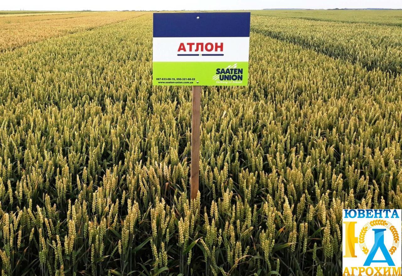 Семена озимой пшеницы Атлон (1 репр)