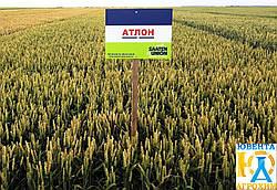 Семена озимой пшеницы Атлон 1 репр