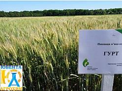 Семена озимой пшеницы Гурт (1 репр)
