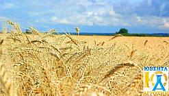 Семена озимой пшеницы Зира (Елита)