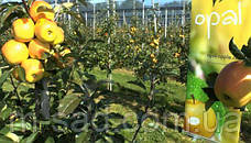 Яблуня Опал ( імунний сорт скороплідний), фото 2
