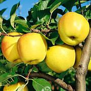 Яблоня Голден Делишес(сладкий,скороплодный)2х летка