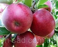 Яблоня Джулия (ранний,кисло сладкий,скороплодный)