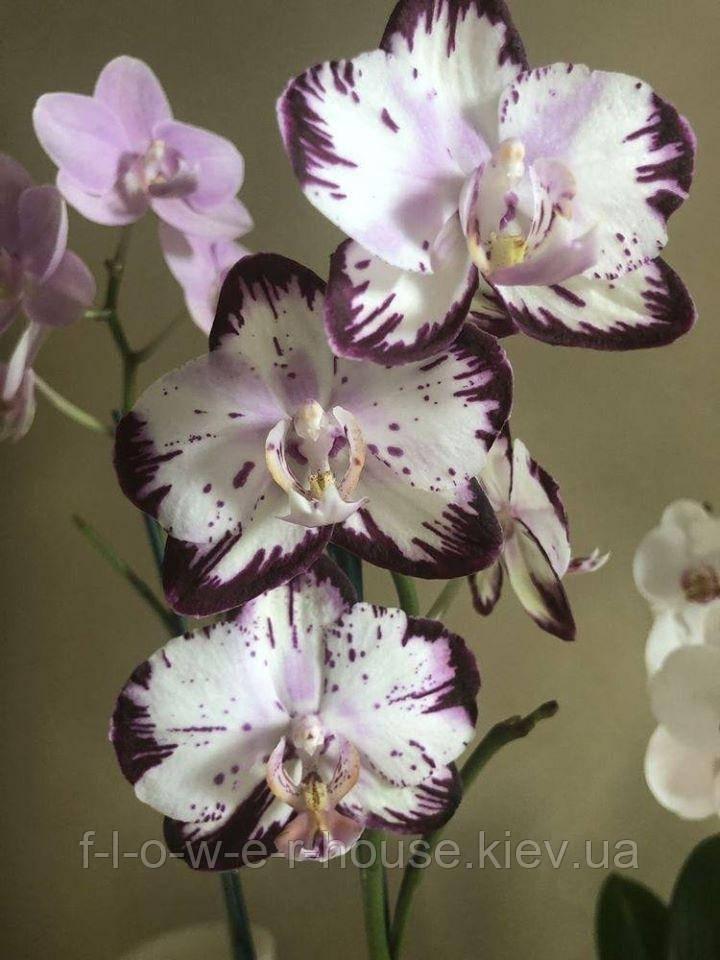 Орхидея легенда