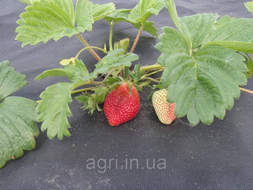 Агроволокно AgroStar 50 г/м² черное (1,05*50м) от сорняков, мульчирующее
