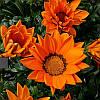 Семена Газания (гацания) Биг Кисс F1 Оранжевая 100 семян Syngenta