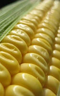 Технология выращивания кукурузы на зерно.