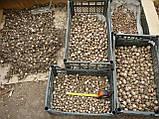 Озимый чеснок для посадки сорт Лидер-однозубка(элита) 500гр, фото 4