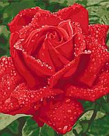 Картина по номерам Нежность розы Ніжність троянди 2 40*50см KHO3045 Розпис по номерах