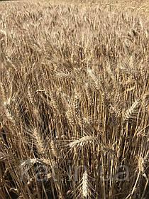 Пшеница Рино твердая 1-Р