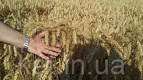 Пшеница озимая Шестопаловка 1-Р