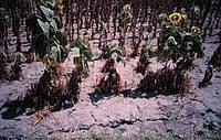 Памятка агронома для выращивания семян Ф1. Болезнь заразиха / вовчок.