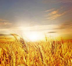 Пшеница - Скинали для кухни каталог
