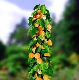 Саженцы абрикоса колоновидные
