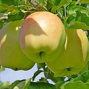 Яблоня Орион(крупный,средне рослый,кисло сладкий)2х летка