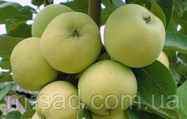 Яблоня Паперовка(ранний,средне рослый,сладкий,скороплодный)