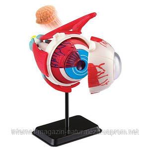Набор для обучения и НУШ Edu-Toys Модель глазного яблока сборная, 14 см (SK007), фото 2