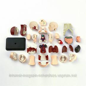 Набор для обучения и НУШ Edu-Toys Модель туловища человека сборная, 12,7 см (SK008), фото 2