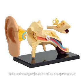 Набор для обучения и НУШ Edu-Toys Модель анатомия уха сборная, 7,7 см (SK012), фото 2