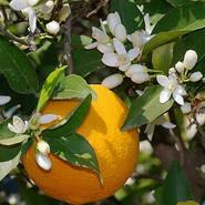 Апельсиновая феерия в парфюмерных нотах