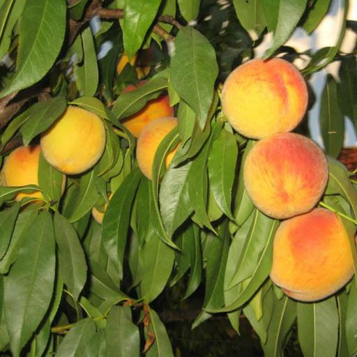 Саженцы персик Сказка однолетка