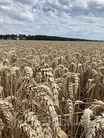 Пшеница Подолянка 1-Р