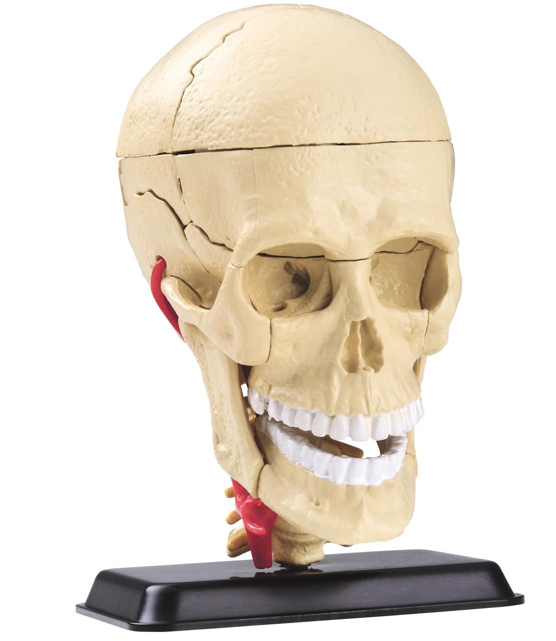 Анатомическая модель сборная Череп человека с мозгом и нервами, 9 см Edu-Toys (SK010)