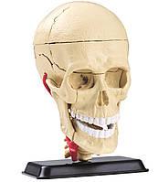 Анатомическая модель сборная Череп человека с мозгом и нервами, 9 см Edu-Toys (SK010), фото 1