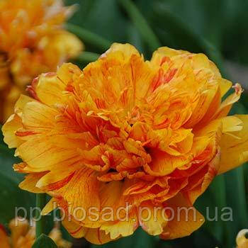 Тюльпаны double beauty of apeldoorn 3 шт-30 грн