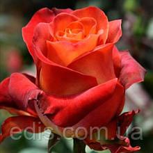 Роза штамбовая Кофе Брейк (чайно-гибридная) 2 прививки