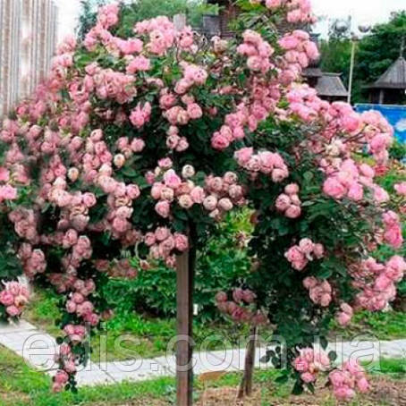Роза штамбовая Heart of Rose 2 прививки, фото 2