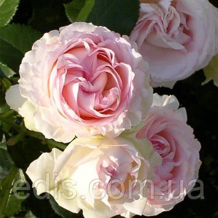Роза штамбовая Heart of Rose 1 прививка, фото 2