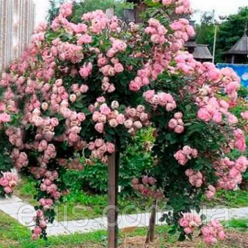 Роза штамбовая Heart of Rose 1 прививка