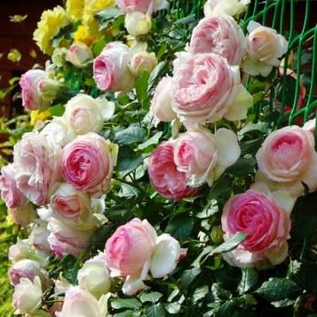 Роза Eden Rose