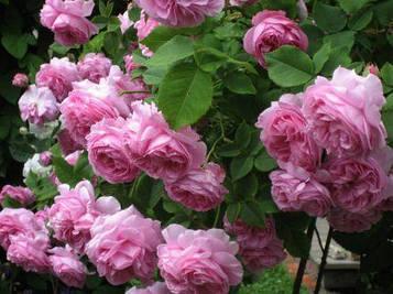 Роза Lilac English