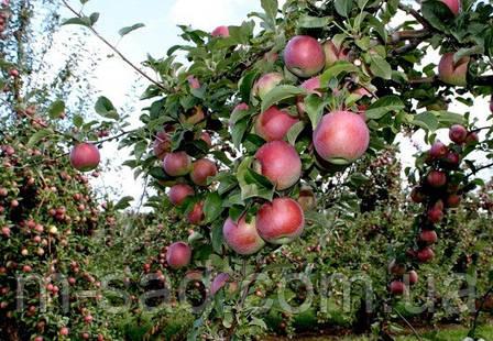 Яблуня Вільямс Прайд (скороплідний,соковитий,смачний)2хлетка, фото 2